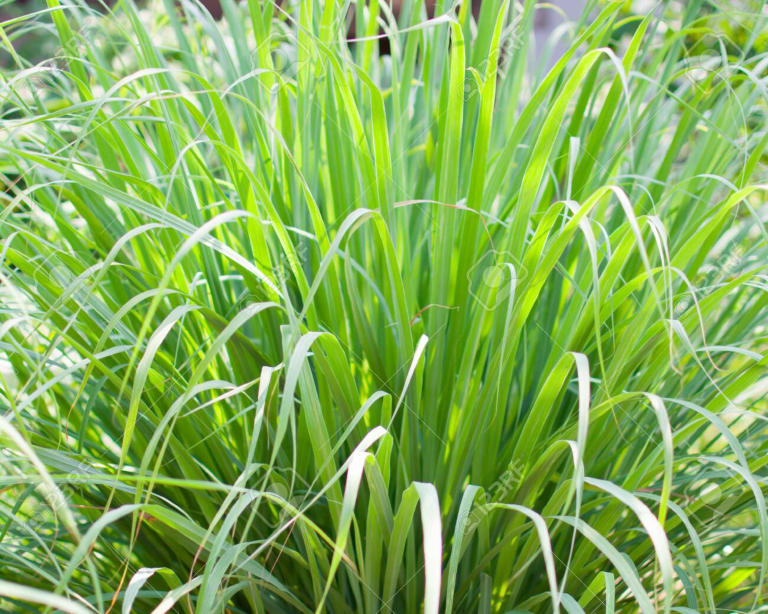 Thai Herbs - Lemongrass, adds flavour and so healthy 2